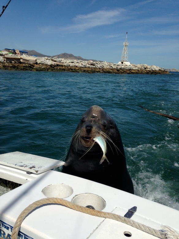 How cool is this Sea Lion that came up on my husband's fishing boat?!